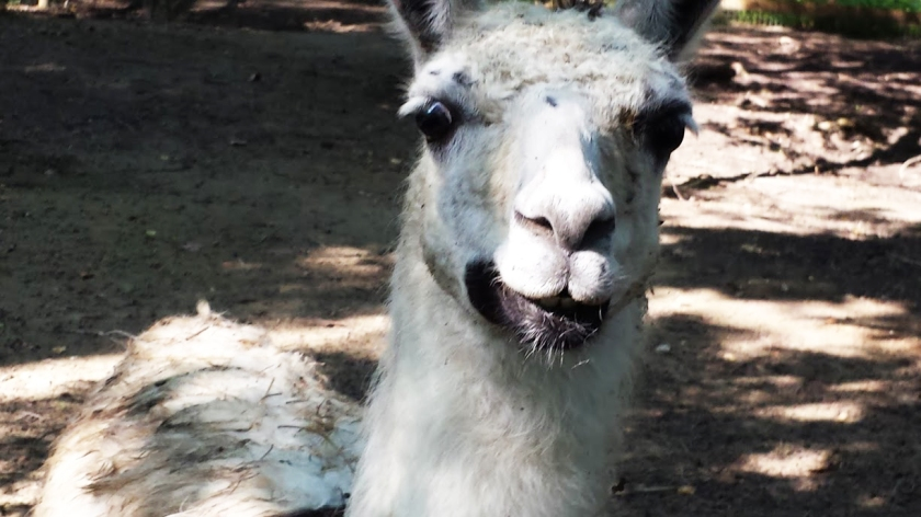 Sugar Roots Farm's Llama